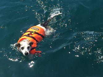 Petit chien-chien courageux