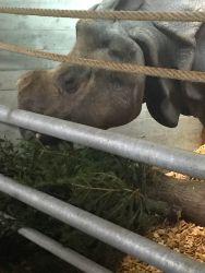 A Bâle, les rhinocéros adorent Noël!