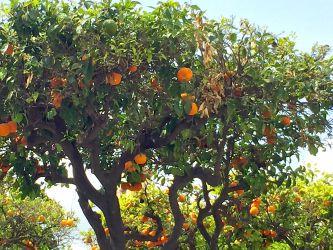 Orangers à Estepona